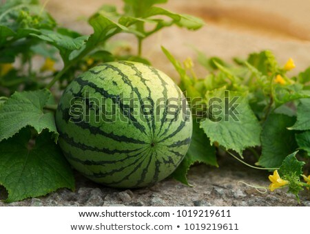 Watermelon or melon planting in field, agriculture in spring Stock photo © simazoran