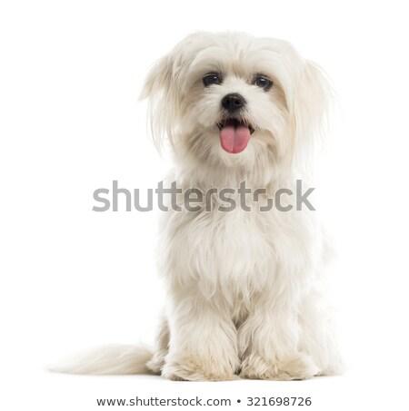 Maltese dog Stock photo © eriklam