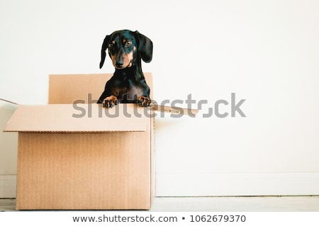 dog in box Stock photo © raywoo