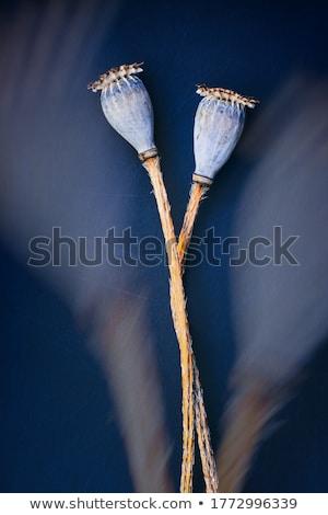 Papoula isolado branco flor jardim cabeça Foto stock © jonnysek