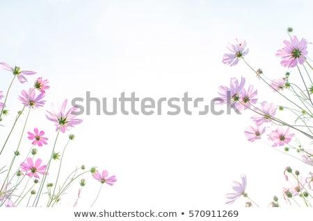 Zinnia flower and blue sky Stock photo © sweetcrisis
