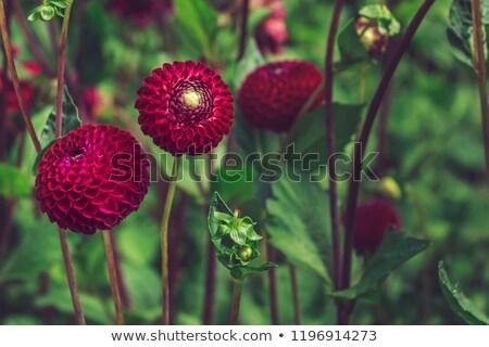 Kırmızı dalya güneş bahçe Stok fotoğraf © ivonnewierink