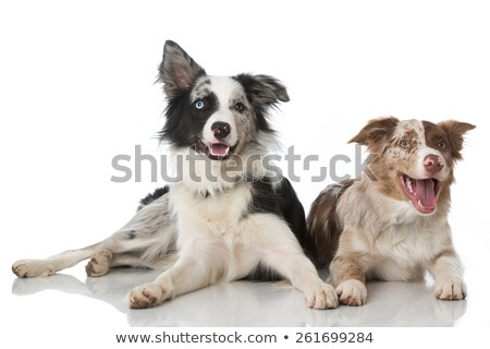 2  blue merle dogs isolated Stock photo © DNF-Style