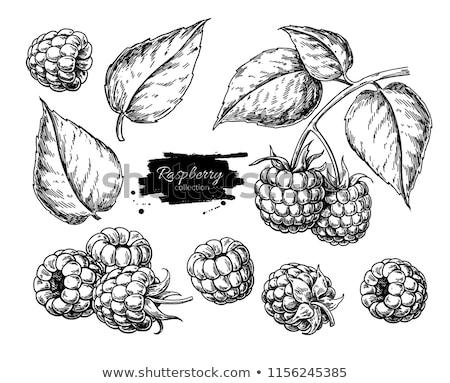 Framboises blanche laisse isolé illustration nature Photo stock © ConceptCafe