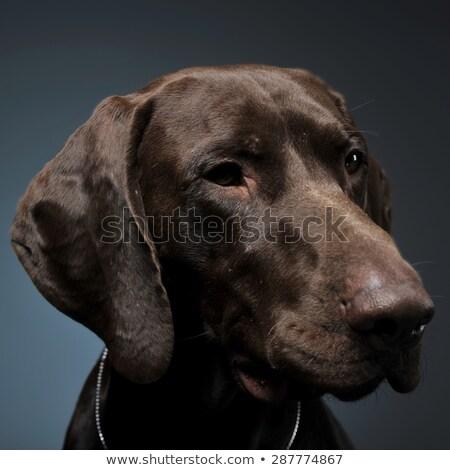 Stock photo: German pointer portrait in a dark photostudio