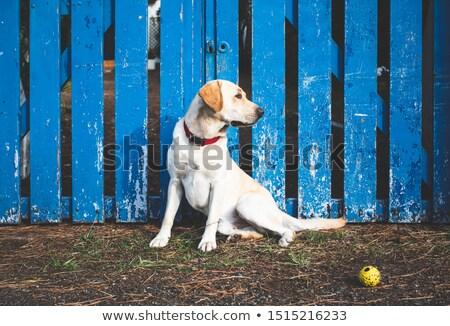 Aranyos citromsárga labrador retriever néz oldal messze Stock fotó © feedough