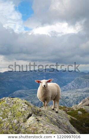 Bianco agnello piedi sola illustrazione natura Foto d'archivio © colematt