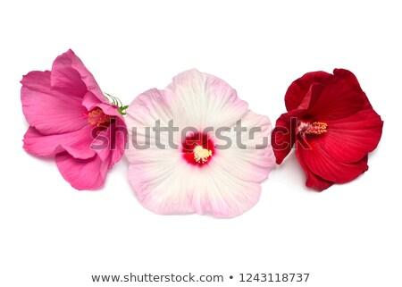 Vermelho hibisco flores rosa folhas Foto stock © oksanika