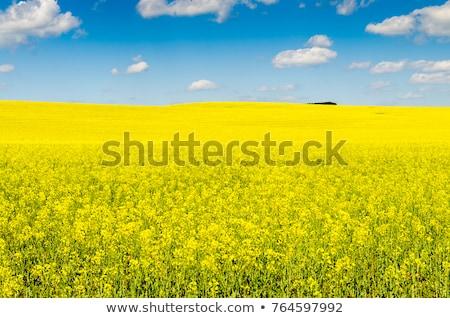 Campo amarillo violación cielo paisaje granja Foto stock © vtorous