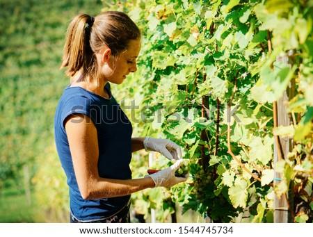 mulher · uvas · verdes · vinha · natureza · folha · verde - foto stock © photography33