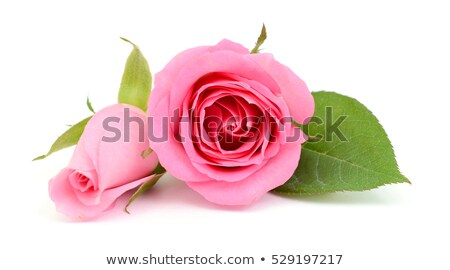 Pink rose and bud on a green stalk Stock photo © boroda