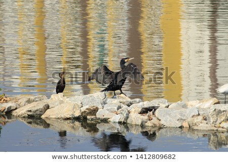 black cormorant opening wings to get dry stock photo © lunamarina