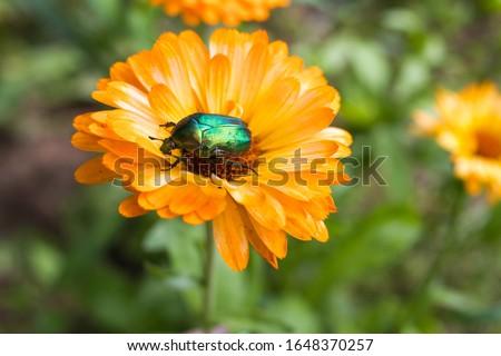 chafer beetle on flower macro Stock photo © Mikko