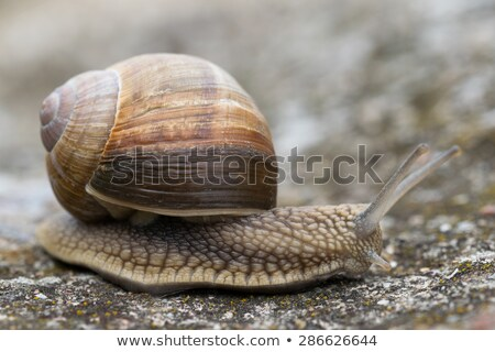 lonely snail close-up in nature  Stock photo © OleksandrO