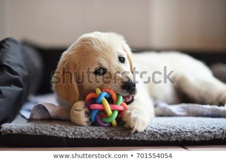 собака маленькая комнатная собачка игрушку белый студию пластиковых Сток-фото © cynoclub