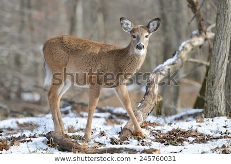 Closeup of White tailed Deer doe Stock photo © pictureguy