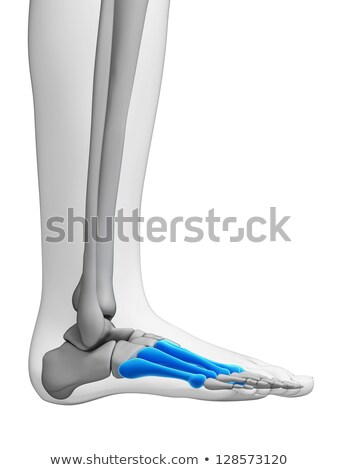 3d rendering medical illustration of the metatarsal bones stock photo © maya2008
