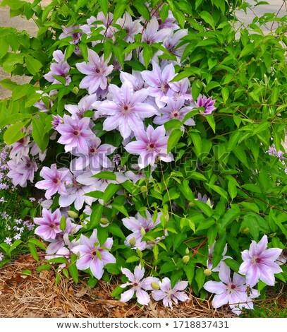 розовый · цветок · природы · зеленый · синий · винограда - Сток-фото © smartin69
