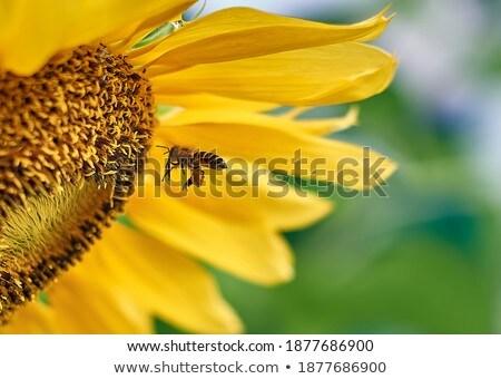 katicabogár · napraforgó · virág · szépség · nyár · piros - stock fotó © ansonstock