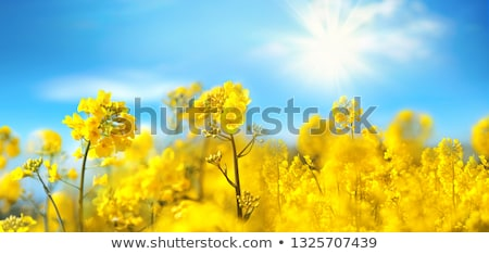Campo violación flores cielo azul blanco nubes Foto stock © vlad_star