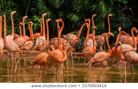 Flamingo hayvanat bahçesi su kuş hayvan pembe Stok fotoğraf © pinkblue