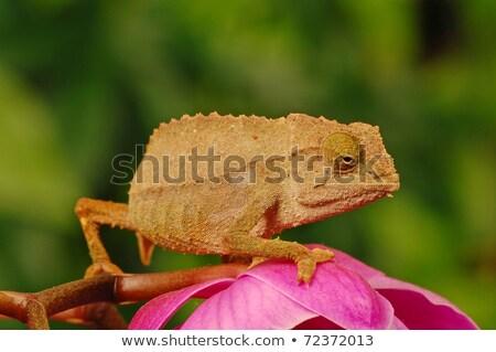 camaleão · macro · tiro · folha · sólido - foto stock © macropixel
