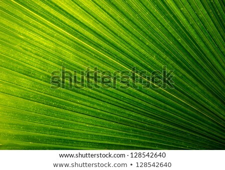 Backlit fresh green palm leaf Stock photo © cherezoff