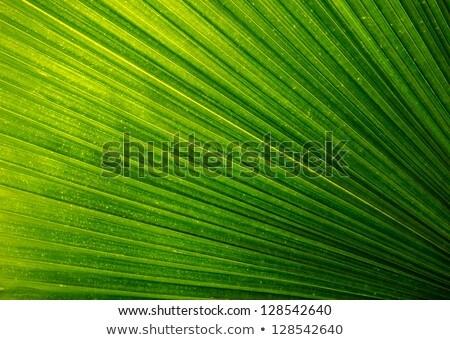 friss · zöld · pálmalevél · természet · textúra · fa - stock fotó © cherezoff