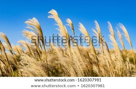 fű · kék · ég · toll · természet · égbolt · tavasz - stock fotó © wjarek