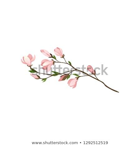 芽 玉蘭 枝 春天 孤立 花 商業照片 © haraldmuc