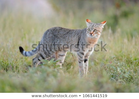 Portrait of an African Wilcat Stock photo © fouroaks