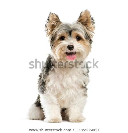 ヨークシャー テリア 座って 白 スタジオ 犬 ストックフォト © vauvau