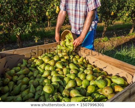 фермер груши урожай органический фрукты овощей Сток-фото © mythja