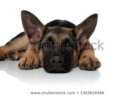 tired german shepard resting with head down looks to side Stock photo © feedough