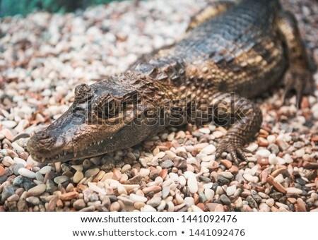 The spectacled caiman Stock photo © olira