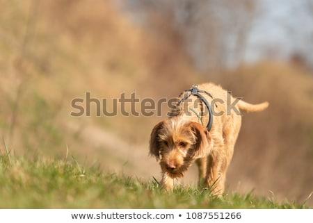 hungarian wire haired vizsla puppy Stock photo © eriklam