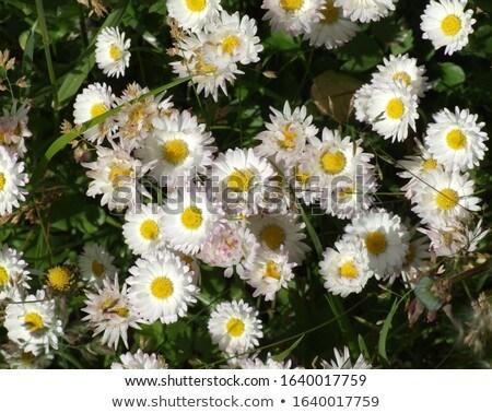 branco · flores · prado · primavera · sol - foto stock © artush