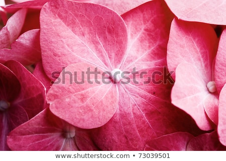 Pink hydrangea flowers close up Stock photo © Julietphotography