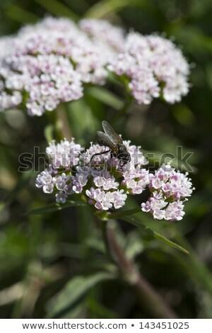 Valeriana Montana Flower In The German Alps Stok fotoğraf © haraldmuc