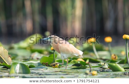 鷺 · 草で覆われた · 草 · 鳥 · アフリカ - ストックフォト © dirkr