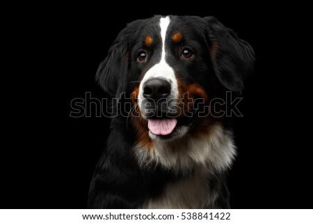 closeup portrait of a black dog stock photo © konradbak