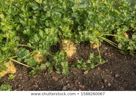 Fresh Healthy Organic celeriac Stock photo © Klinker