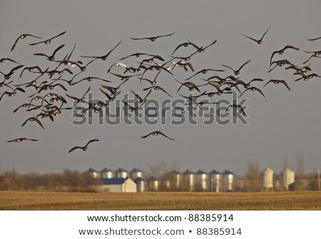 Snow Geese And Whie Fronted Geese Canada in Flight Stock photo © pictureguy