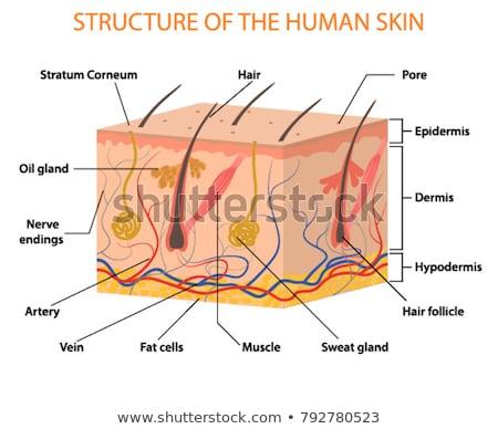 Estrutura humanismo músculo ilustração corpo fundo Foto stock © bluering