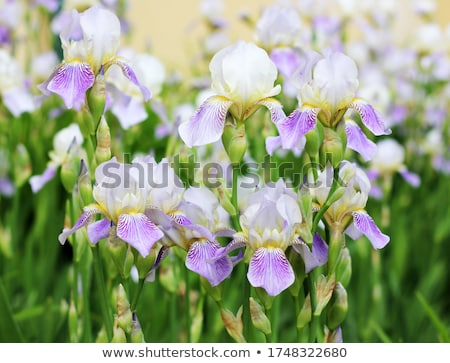 большой красивой синий Iris саду солнечный свет Сток-фото © Pilgrimego