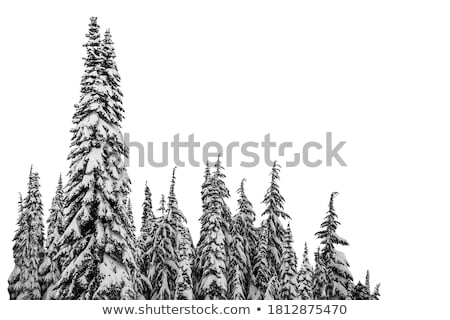 Snowy trees. Stock photo © Leonardi