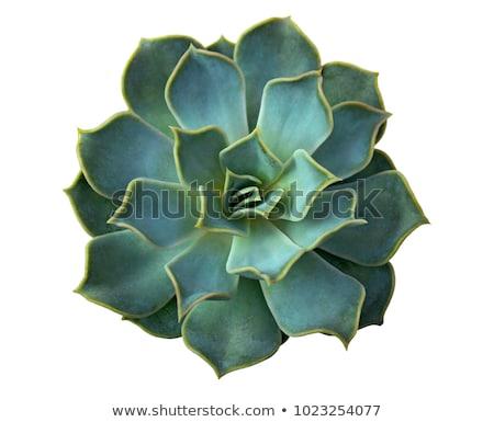 verde · cactus · succulente · macro · view · spina - foto d'archivio © meinzahn
