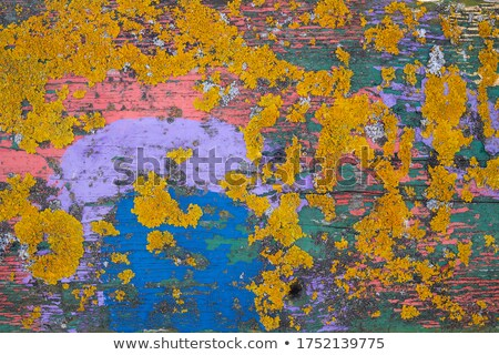 yellow lichen on a blue painted wood texture Stock photo © pashabo