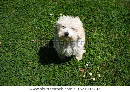 Little Poodle in Love Stock photo © cthoman