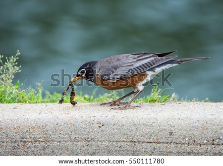 American Robin with Worm Stock photo © devon